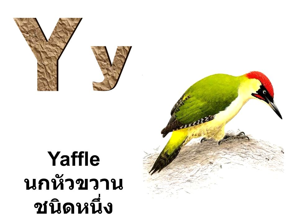Yaffle นกหัวขวาน ชนิดหนึ่ง