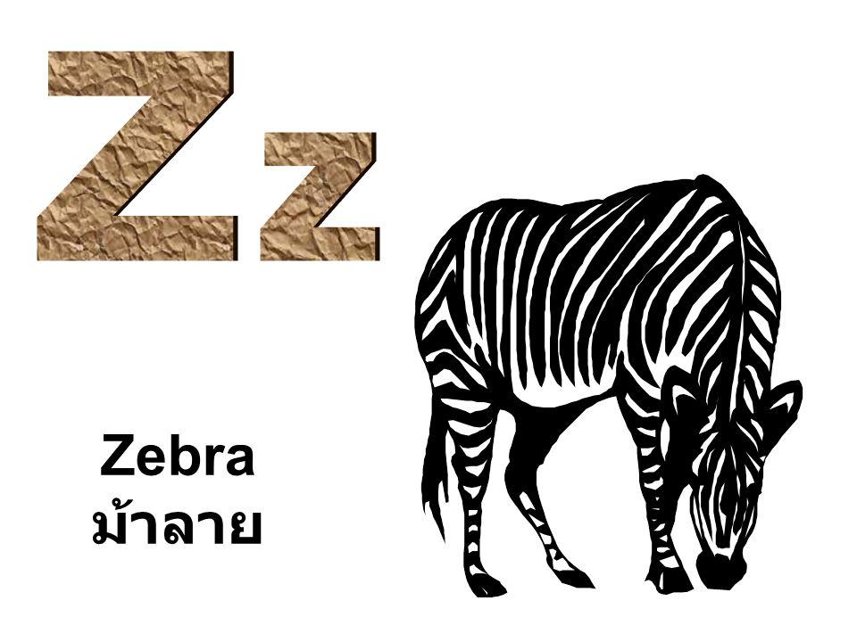 Zebra ม้าลาย