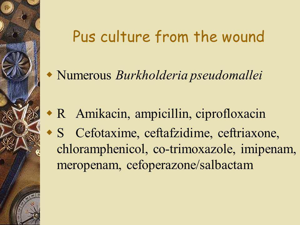 Pus culture from the wound  Numerous Burkholderia pseudomallei  RAmikacin, ampicillin, ciprofloxacin  SCefotaxime, ceftafzidime, ceftriaxone, chlor