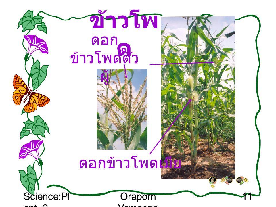 Science:Pl ant_2 Oraporn Yamsopa 11 ข้าวโพ ด ดอก ข้าวโพดตัว ผู้ ดอกข้าวโพดเมีย