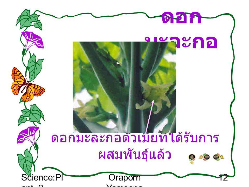 Science:Pl ant_2 Oraporn Yamsopa 12 ดอก มะละกอ ดอกมะละกอตัวเมียที่ได้รับการ ผสมพันธุ์แล้ว