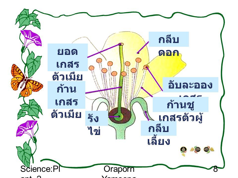 Science:Pl ant_2 Oraporn Yamsopa 8 กลีบ เลี้ยง อับละออง เกสร ก้านชู เกสรตัวผู้ ยอด เกสร ตัวเมีย ก้าน เกสร ตัวเมีย กลีบ ดอก รัง ไข่
