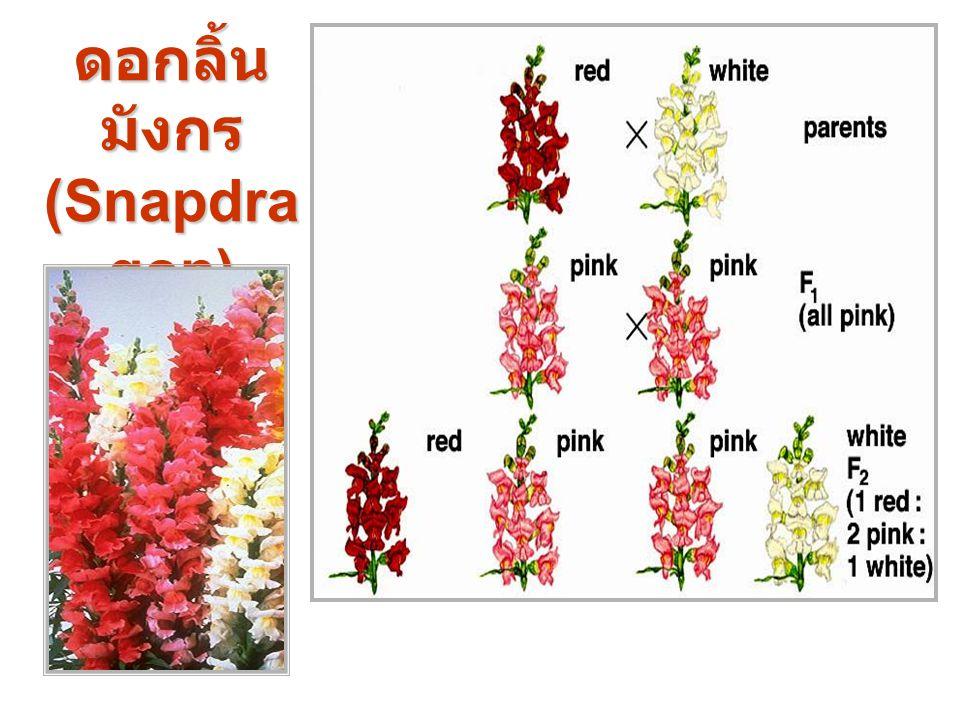 ดอกลิ้น มังกร (Snapdra gon)