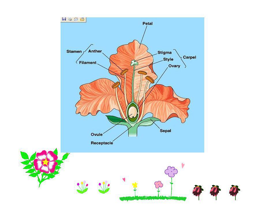 Spadix - ลักษณะดอกคือ rachis จะหนาและนิ่ม ช่อดอกจะมี ใบประดับแผ่นใหญ่แผ่นเดียว เช่น ดอกหน้าวัว อุตพิต
