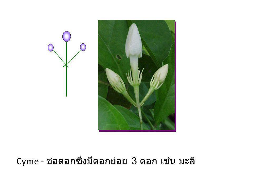 Cyme - ช่อดอกซึ่งมีดอกย่อย 3 ดอก เช่น มะลิ