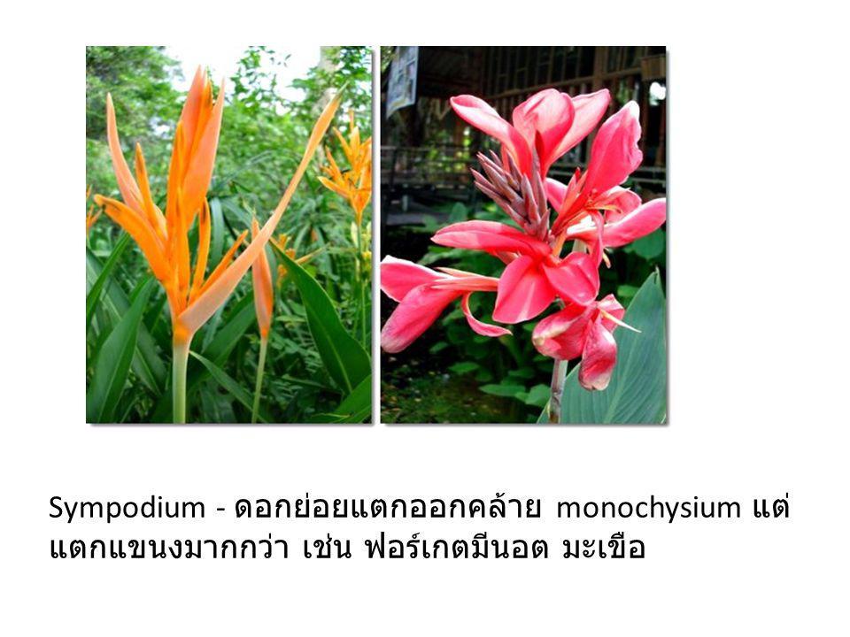 Sympodium - ดอกย่อยแตกออกคล้าย monochysium แต่ แตกแขนงมากกว่า เช่น ฟอร์เกตมีนอต มะเขือ