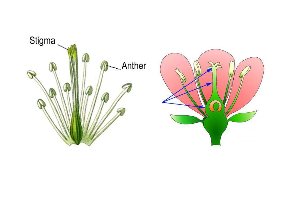 Coryme - ช่อดอกคล้าย raceme แต่ก้านดอกย่อยยาวไม่ เท่ากัน ทำให้ดอกย่อยอยู่ในระดับเดียวกัน เช่น ดอก ขี้เหล็ก ดอกคะน้า