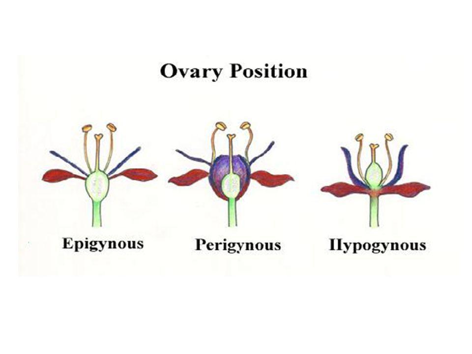 Umbel - ก้านดอกย่อยออกจากก้านดอกจุดเดียวกัน ยาว เท่ากัน มักมีใบประดับ เช่น ดอกกุ่ยช่าย พลับพลึง