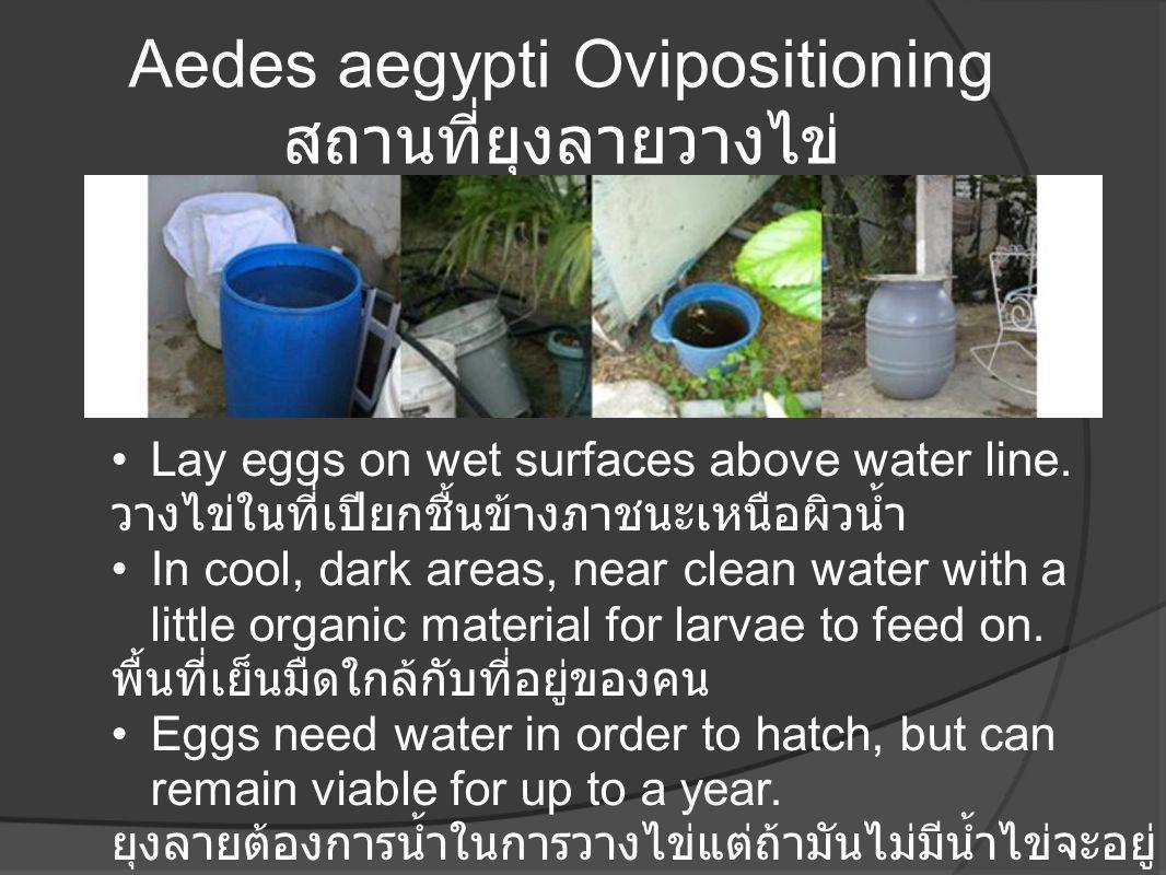 Aedes aegypti Ovipositioning สถานที่ยุงลายวางไข่ •Lay eggs on wet surfaces above water line. วางไข่ในที่เปียกชื้นข้างภาชนะเหนือผิวน้ำ •In cool, dark a