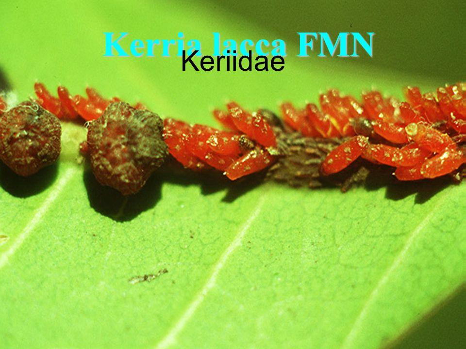 Kerria lacca FMN Keriidae
