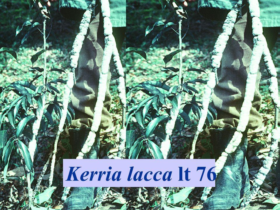 Kerria lacca lt 76