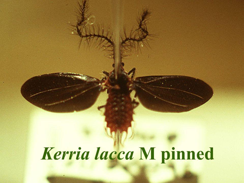 Kerria lacca M pinned