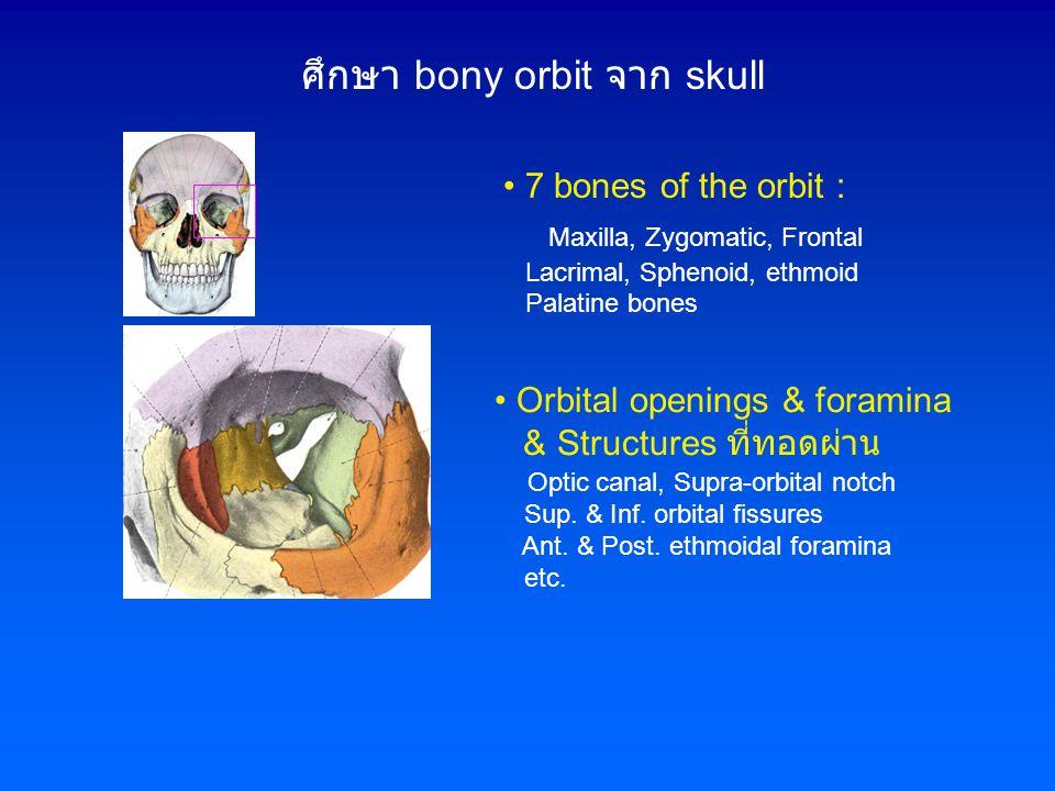 ศึกษา bony orbit จาก skull • Orbital openings & foramina & Structures ที่ทอดผ่าน Optic canal, Supra-orbital notch Sup. & Inf. orbital fissures Ant. &