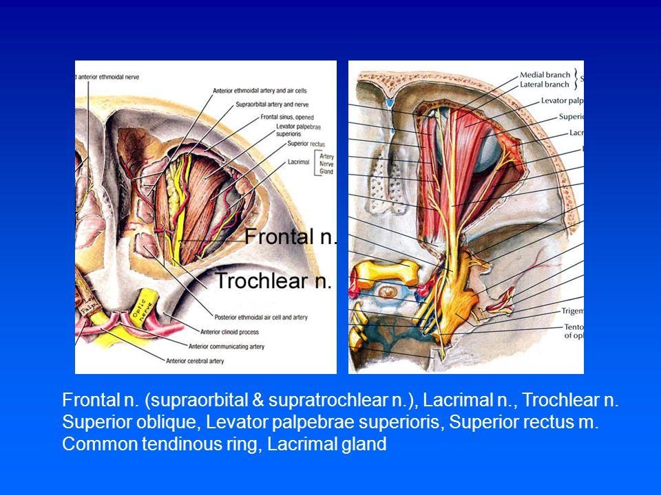 Frontal n. (supraorbital & supratrochlear n.), Lacrimal n., Trochlear n. Superior oblique, Levator palpebrae superioris, Superior rectus m. Common ten