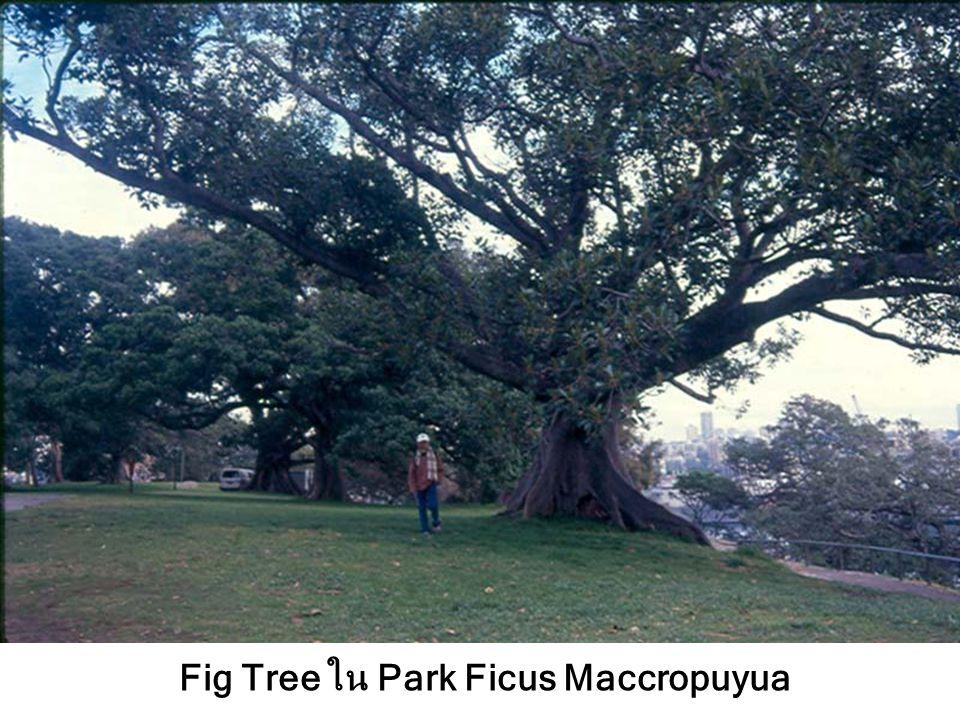 Fig Tree ใน Park Ficus Maccropuyua