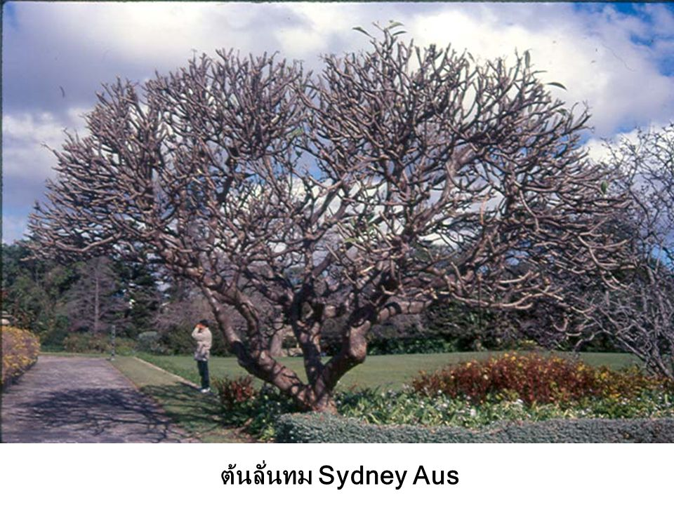 ต้นลั่นทม Sydney Aus
