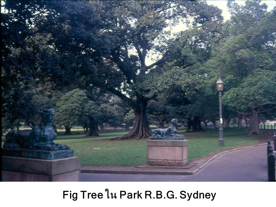 Fig Tree ใน Park R.B.G. Sydney