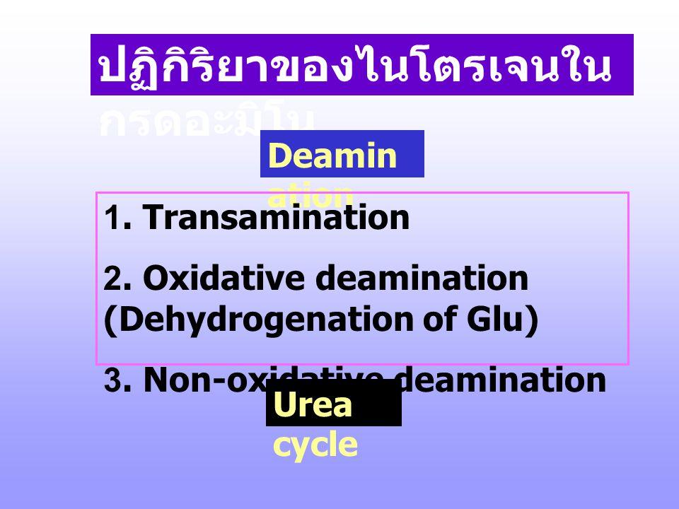 II. การสลายกรดอะมิโน ร่างกายจะใช้กรดอะมิโนเป็นแหล่งให้ พลังงาน เมื่อ - มีการรับประทานอาหารโปรตีนมากเกิน กว่าจะใช้สังเคราะห์โปรตีนหรือชีว โมเลกุลอื่น -