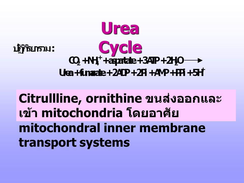 Urea Cycle 1 CPS I 2 Orn transcarbomoyla se 3 argininosuccinate synthase 4 argininosucc inase 5 argina se