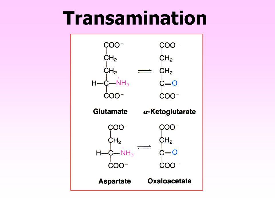  -keto acids COO - | C=O | R COO - | C=O | CH 3 COO - | C=O | CH 2 | COO - Pyruvate OXALOACE TATE  -amino acids CO O - | C- NH 2 | R CO O - | C- NH