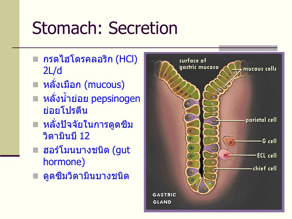 Stomach: Secretion  กรดไฮโดรคลอริก (HCl) 2L/d  หลั่งเมือก (mucous)  หลั่งน้ำย่อย pepsinogen ย่อยโปรตีน  หลั่งปัจจัยในการดูดซึม วิตามินบี 12  ฮอร์