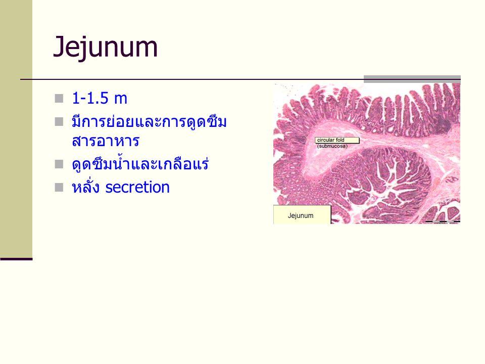 Jejunum  1-1.5 m  มีการย่อยและการดูดซึม สารอาหาร  ดูดซึมน้ำและเกลือแร่  หลั่ง secretion