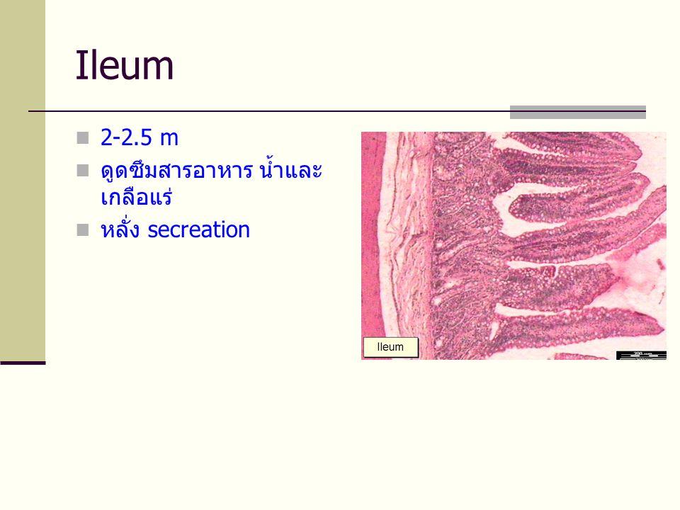 Ileum  2-2.5 m  ดูดซึมสารอาหาร น้ำและ เกลือแร่  หลั่ง secreation