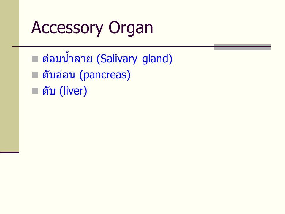 Accessory Organ  ต่อมน้ำลาย (Salivary gland)  ตับอ่อน (pancreas)  ตับ (liver)
