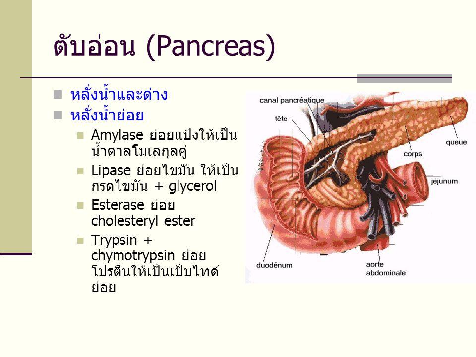 ตับอ่อน (Pancreas)  หลั่งน้ำและด่าง  หลั่งน้ำย่อย  Amylase ย่อยแป้งให้เป็น น้ำตาลโมเลกุลคู่  Lipase ย่อยไขมัน ให้เป็น กรดไขมัน + glycerol  Esterase ย่อย cholesteryl ester  Trypsin + chymotrypsin ย่อย โปรตีนให้เป็นเป็บไทด์ ย่อย
