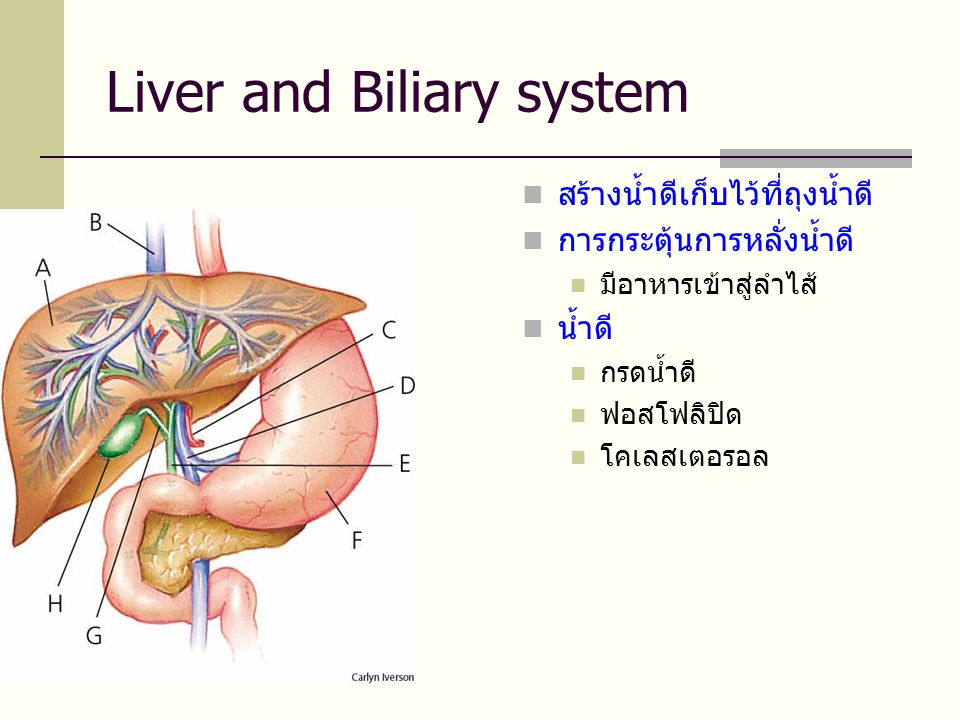 Liver and Biliary system  สร้างน้ำดีเก็บไว้ที่ถุงน้ำดี  การกระตุ้นการหลั่งน้ำดี  มีอาหารเข้าสู่ลำไส้  น้ำดี  กรดน้ำดี  ฟอสโฟลิปิด  โคเลสเตอรอล
