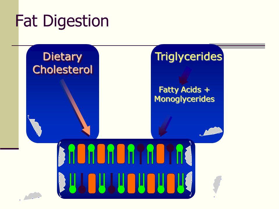 Fat Digestion Triglycerides Dietary Cholesterol Fatty Acids + Monoglycerides