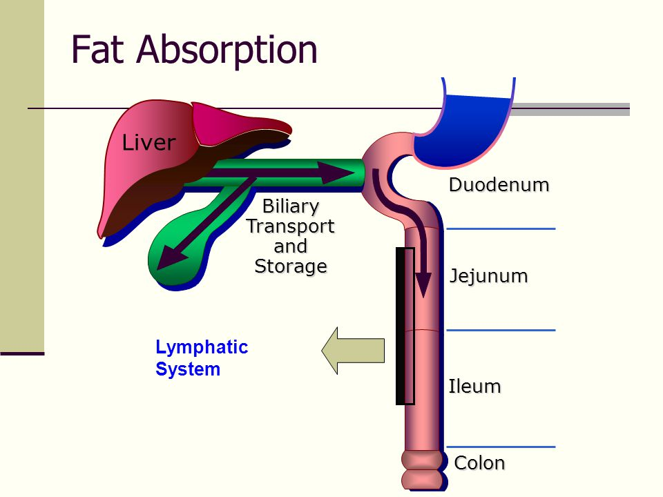 Fat Absorption Duodenum Jejunum Ileum Biliary Transport and Storage Colon Liver Lymphatic System