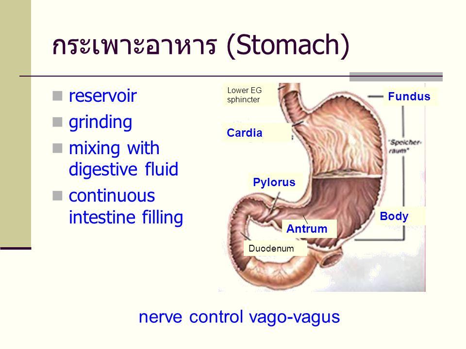 กระเพาะอาหาร (Stomach)  reservoir  grinding  mixing with digestive fluid  continuous intestine filling nerve control vago-vagus Pylorus Duodenum Lower EG sphincter Body Fundus Antrum Cardia