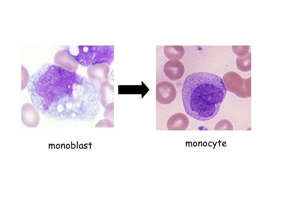 monoblast monocyte