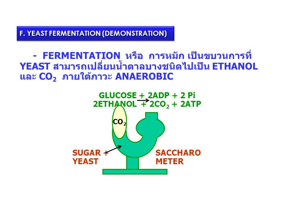 F. YEAST FERMENTATION (DEMONSTRATION) - FERMENTATION หรือ การหมัก เป็นขบวนการที่ YEAST สามารถเปลี่ยนน้ำตาลบางชนิดไปเป็น ETHANOL และ CO 2 ภายใต้ภาวะ AN