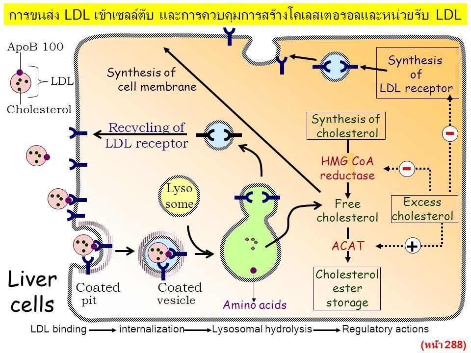 การขนส่ง LDL เข้าเซลล์ตับ และการควบคุมการสร้างโคเลสเตอรอลและหน่วยรับ LDL LDL binding internalization Lysosomal hydrolysis Regulatory actions Synthesis