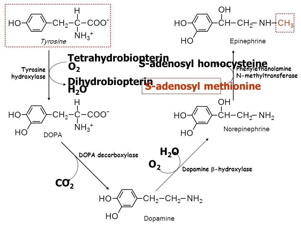 Tyrosine HO CH 2 C COO - H NH 3 + DOPA HO CH 2 C COO - H NH 3 + HO Dopamine HO CH 2 CH 2 NH 2 HO Norepinephrine HO CH CH 2 NH 2 OH HO Epinephrine HO C