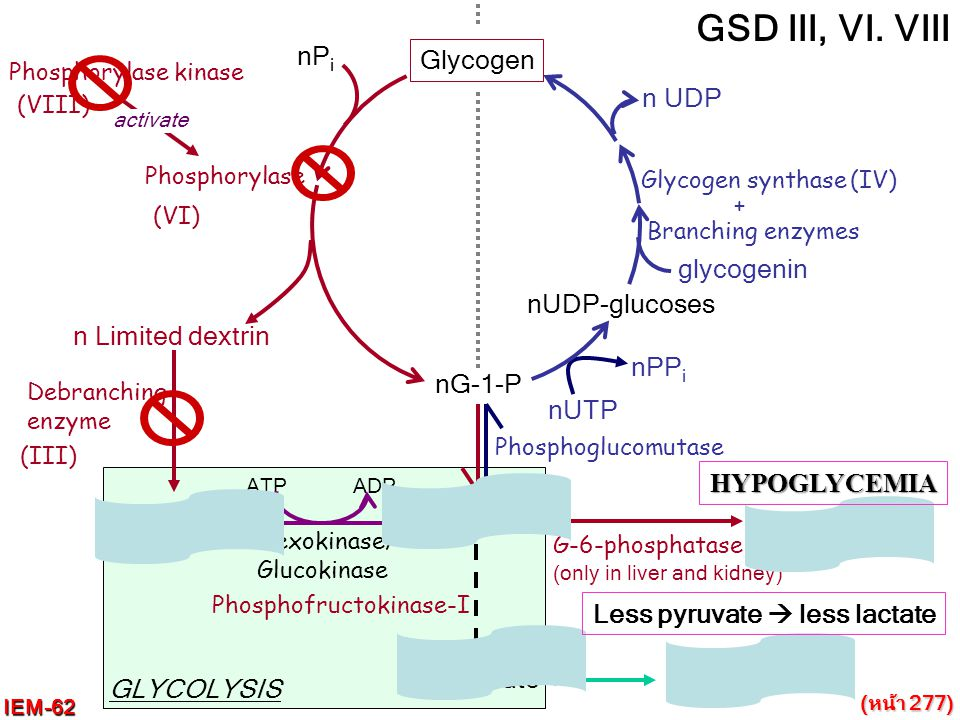 nGlucose Hexokinase/ Glucokinase nPyruvate GLYCOLYSIS ATP ADP nG-6-P Glycogen Phosphorylase Phosphorylase kinase activate nP i nG-1-P Branching enzyme