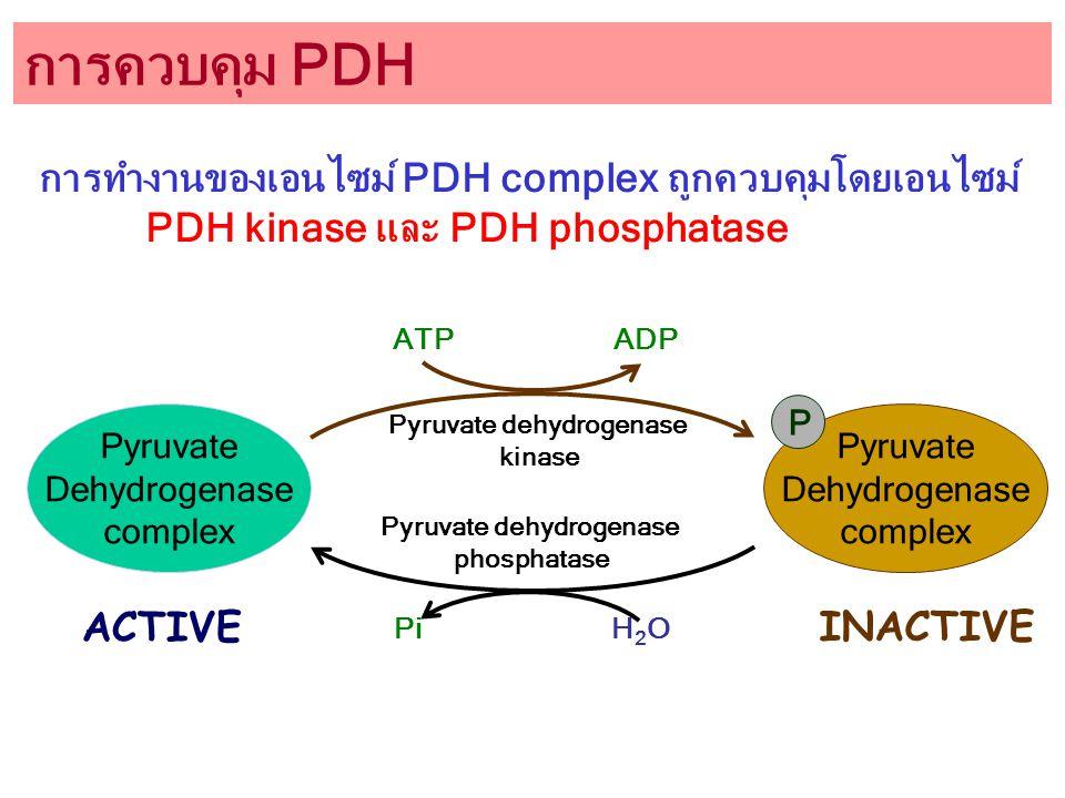 การควบคุม PDH Pyruvate Dehydrogenase complex Pyruvate dehydrogenase kinase Pyruvate dehydrogenase phosphatase ATP ADP Pyruvate Dehydrogenase complex P