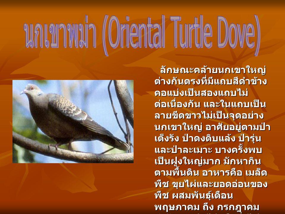 ลักษณะคล้ายนกเขาใหญ่ ต่างกันตรงที่มีแถบสีดำข้าง คอแบ่งเป็นสองแถบไม่ ต่อเนื่องกัน และในแถบเป็น ลายขีดขาวไม่เป็นจุดอย่าง นกเขาใหญ่ อาศัยอยู่ตามป่า เต็งร