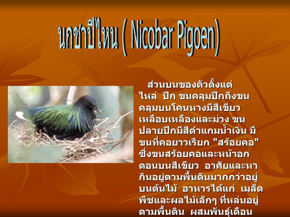 ส่วนบนของตัวตั้งแต่ ไหล่ ปีก ขนคลุมปีกถึงขน คลุมบนโคนหางมีสีเขียว เหลือบเหลืองและม่วง ขน ปลายปีกมีสีดำแกมน้ำเงิน มี ขนที่คอยาวเรียก