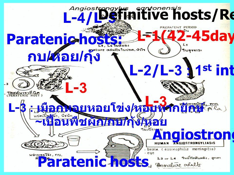 L-3 : เมือกหอยหอยโข่ง / หอยทากยักษ์ ~ เปื้อนพืชผัก / กบ / กุ้ง / หอย L-1(42-45days) L-2/L-3 : 1 st inter. host L-3 L-4/L-5 Angiostrongyliasis Definiti