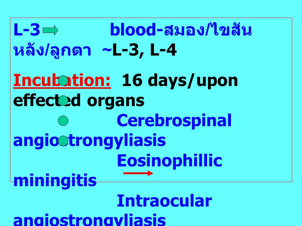 L-3 blood- สมอง / ไขสัน หลัง / ลูกตา ~L-3, L-4 Incubation: 16 days/upon effected organs Cerebrospinal angiostrongyliasis Eosinophillic miningitis Intr