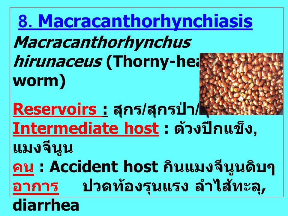 8. Macracanthorhynchiasis Macracanthorhynchus hirunaceus (Thorny-headed worm) Reservoirs : สุกร / สุกรป่า / สุนัข / แมว Intermediate host : ด้วงปีกแข็