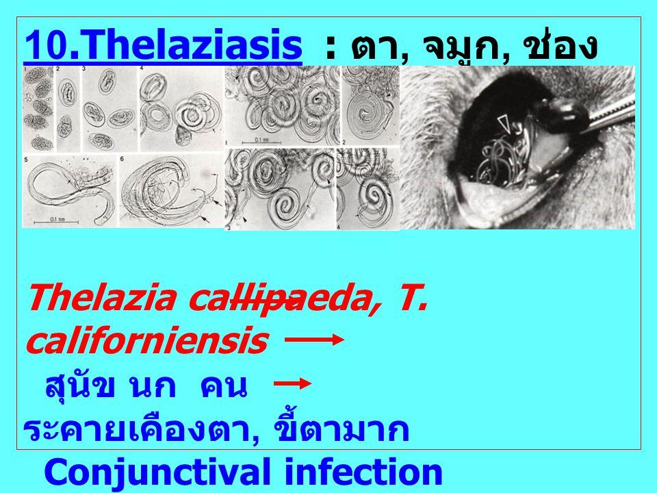 10.Thelaziasis : ตา, จมูก, ช่อง ปาก Thelazia callipaeda, T. californiensis สุนัข นก คน ระคายเคืองตา, ขี้ตามาก Conjunctival infection Cornea: ขุ่นมัว ก