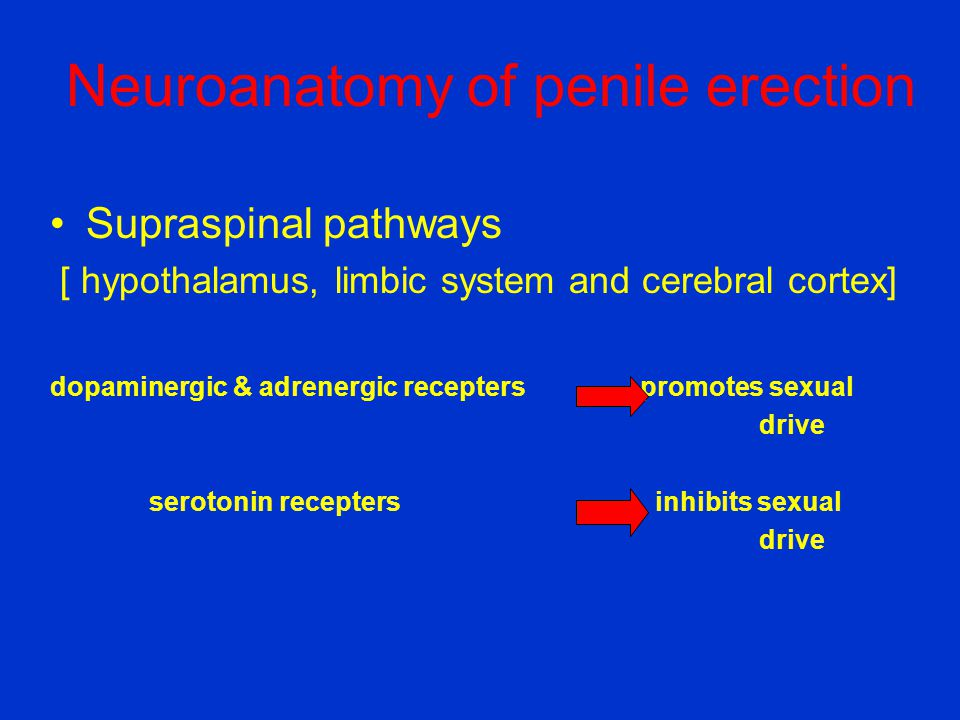 Neuroanatomy of penile erection •Supraspinal pathways [ hypothalamus, limbic system and cerebral cortex] dopaminergic & adrenergic recepters promotes
