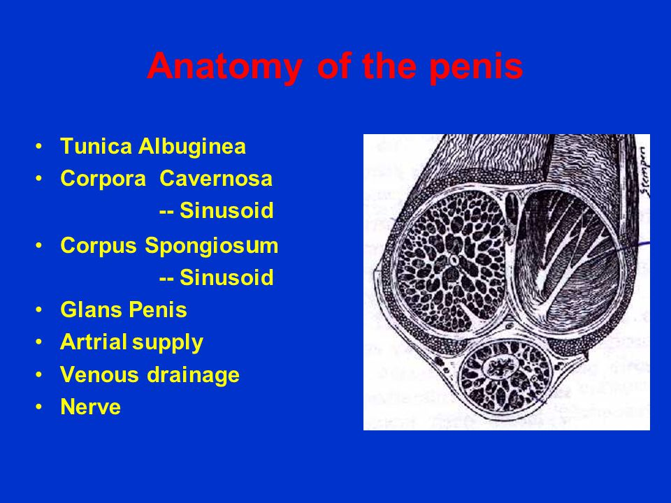 Anatomy of the penis •Tunica Albuginea •Corpora Cavernosa -- Sinusoid •Corpus Spongios u m -- Sinusoid •Glans Penis •Artrial supply •Venous drainage •