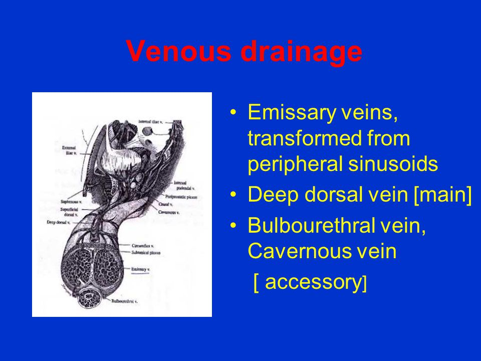 Venous drainage •Emissary veins, transformed from peripheral sinusoids •Deep dorsal vein [main] •Bulbourethral vein, Cavernous vein [ accessory ]