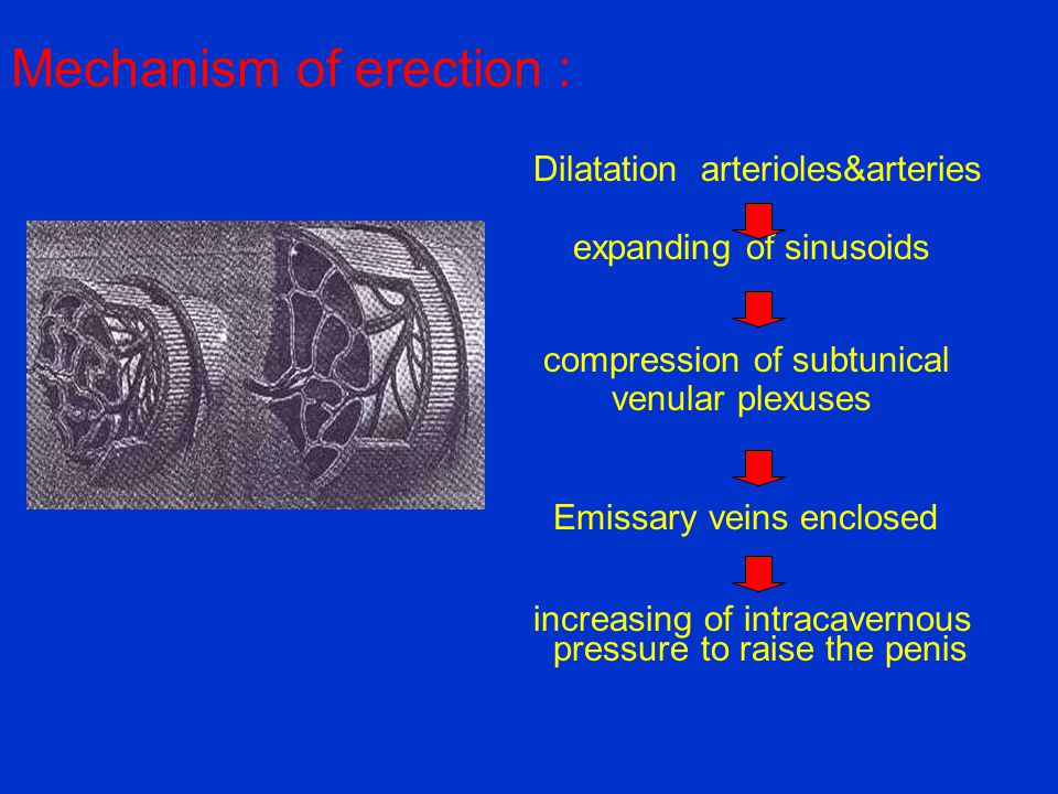 Mechanism of erection : Dilatation arterioles&arteries expanding of sinusoids compression of subtunical venular plexuses Emissary veins enclosed incre