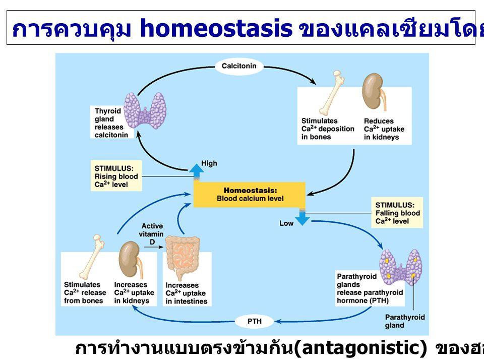 การควบคุม homeostasis ของแคลเซียมโดย PTH และ Calcitonin การทำงานแบบตรงข้ามกัน (antagonistic) ของฮอร์โมน 2 ชนิด